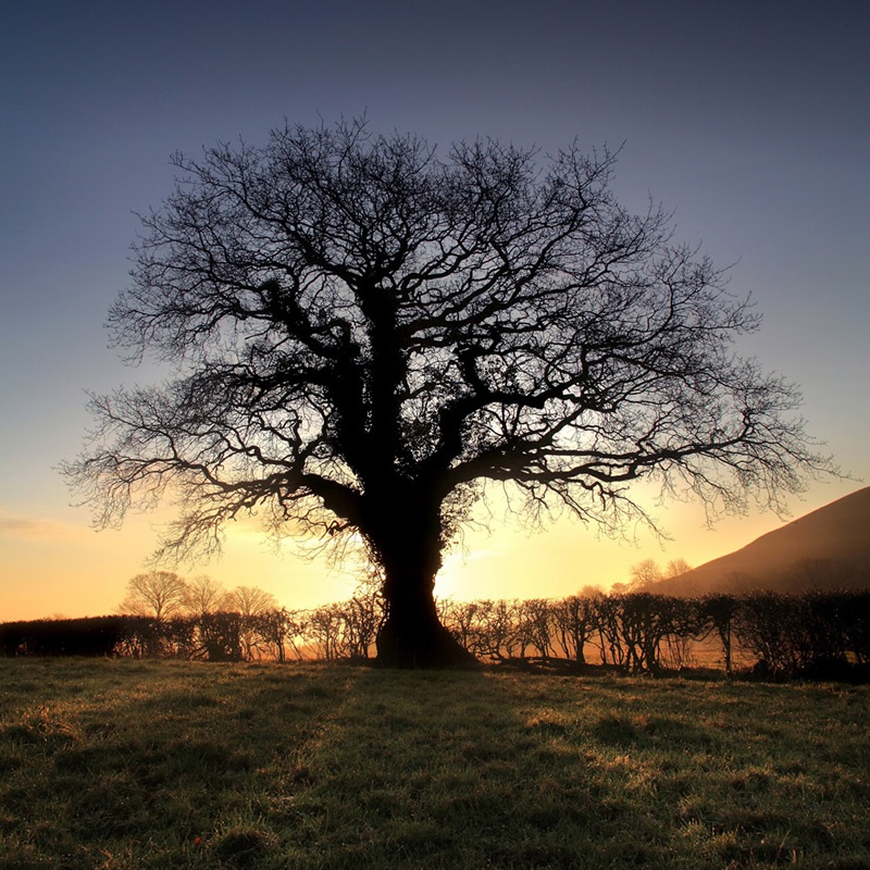Oak Tree - Glastonbury Tor